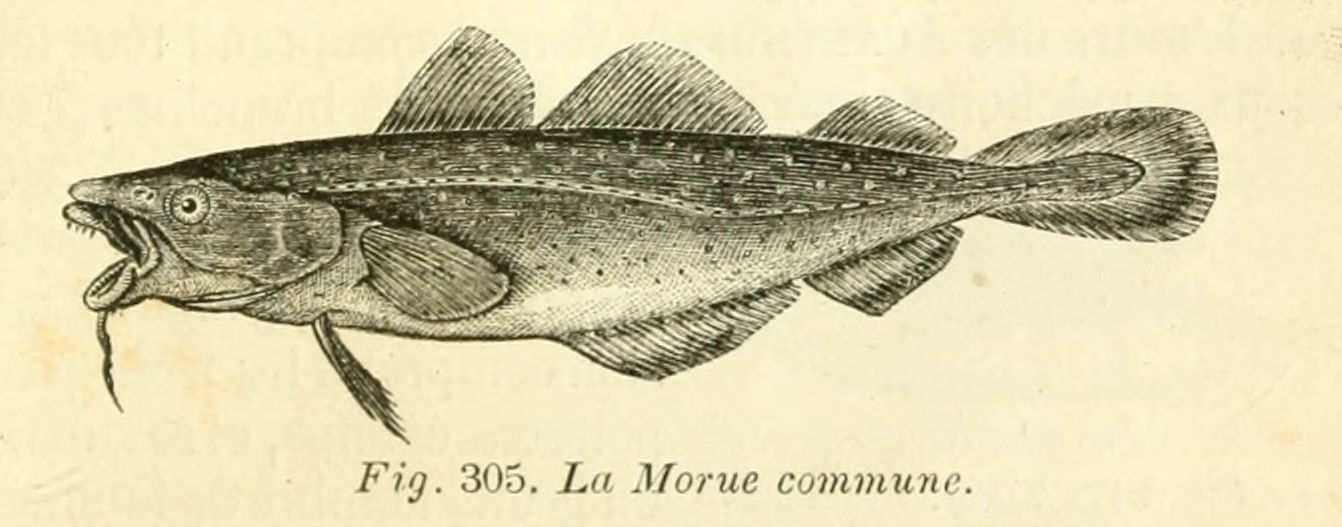 E:\Saint-Malo\Illustrations-Conférence\morue_commune.jpg